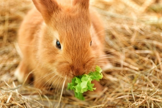 Image result for Give Healthy Food Intermittently for rabbit