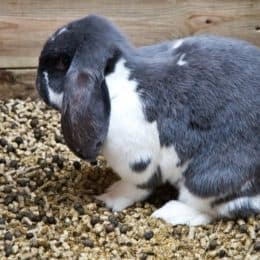 Why Do Rabbits Eat Their Own Poop?
