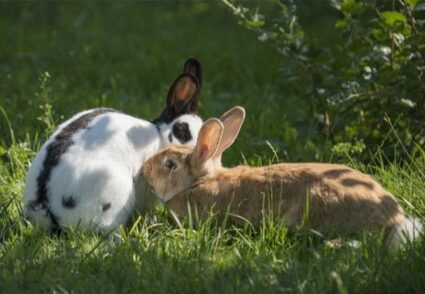 can doe and buck rabbits live together?