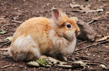 can rabbits change color?
