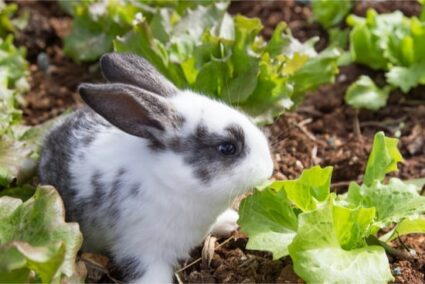 can you overfeed a rabbit lettuce?