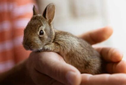 do baby rabbits have fur when born?