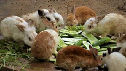 how much cucumber can rabbits eat?