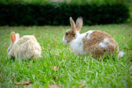 rabbit circling and honking