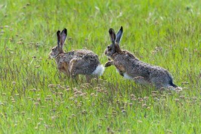 rabbit running in circles