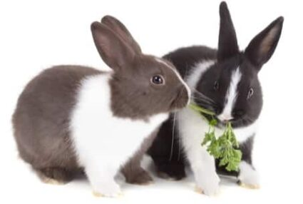 rabbits biting each other's fur