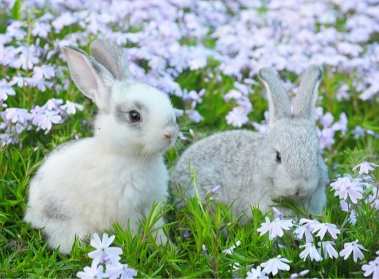 two unneutered male rabbits together