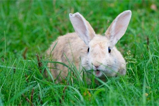Are Rabbit Bites Infectious?