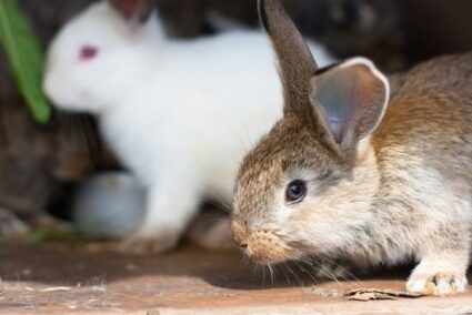 What temperature can Rabbits stay outside?