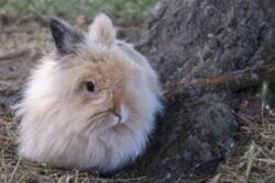 When Do Angora Rabbits Stop Growing?