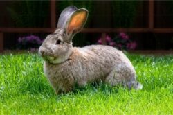 When Do Flemish Giant Rabbits Stop Growing?
