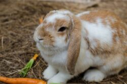 When Do Holland Lop Rabbits Stop Growing?