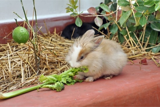 health benefits of celery for rabbits