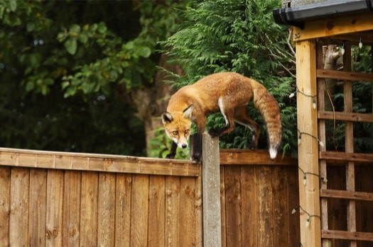 how to protect rabbits from foxes