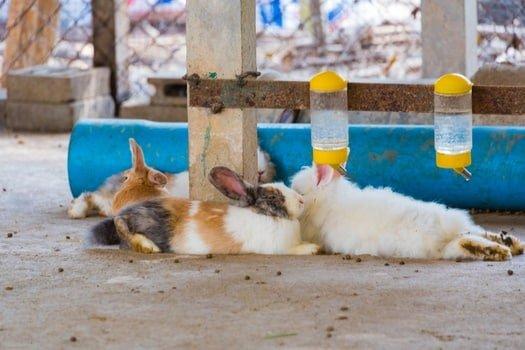 rabbit fur turning yellow