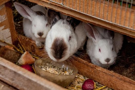 what kills rabbits at night?
