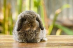 when do french lops stop growing?