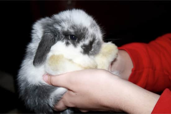 will a rabbit eat its babies if touched by humans?