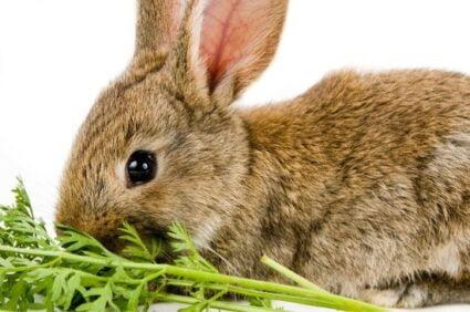 Baby Rabbit Diet