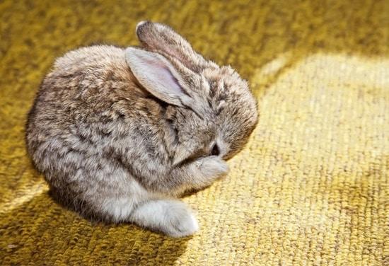 Can Bunnies Chew Carpet?