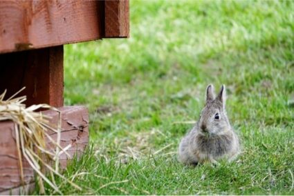 Can Rabbits Chew Wood?