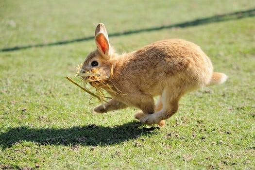 Can Rabbits Walk or Just Hop?