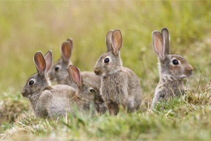 How to tell the difference between hares and rabbits