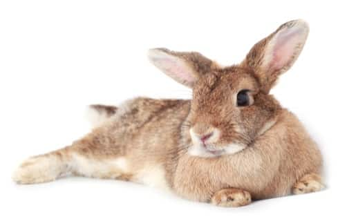 What Causes Splayed Leg in Rabbits?