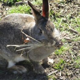 Why do rabbits carry hay in their mouth?