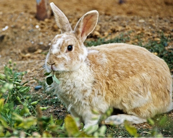 are parsnips good for rabbits?