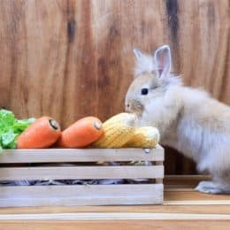 are rabbits allowed parsnips?