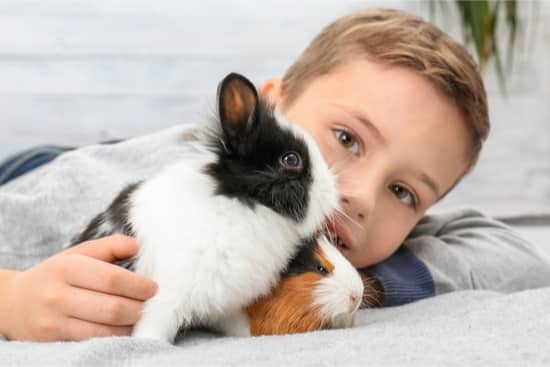 are rabbits or guinea pigs more affectionate?
