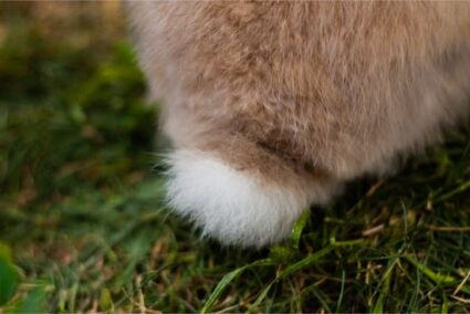 can a rabbit live without its tail?