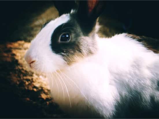can ticks kill rabbits?