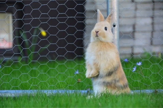 caring for a rabbit with splayed legs