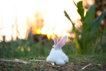do rabbit tails grow back?