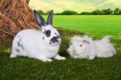 do rabbits or guinea pigs smell worse?