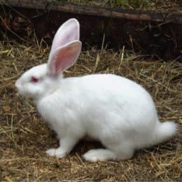 do rabbits shed their tails?