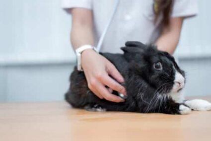 dying rabbit behavior