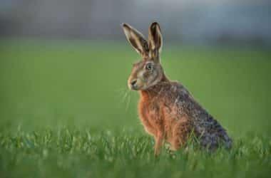 hares vs rabbits