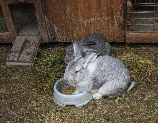 how long does it take to litter train a rabbit?