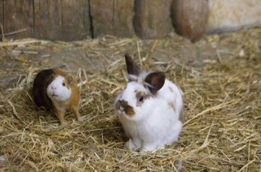 pet rabbits vs. guinea pigs as pets