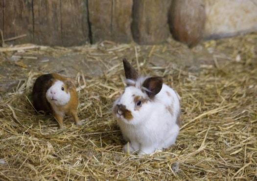 pet rabbits vs. guinea pigs as pets