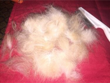 rabbit constantly molting