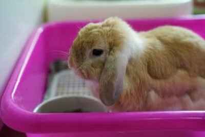 rabbit molting excessively
