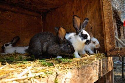 rabbit shedding patterns