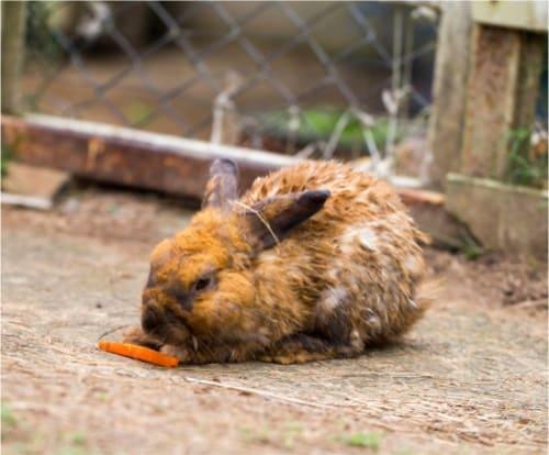 symptoms of urine scolding in rabbits