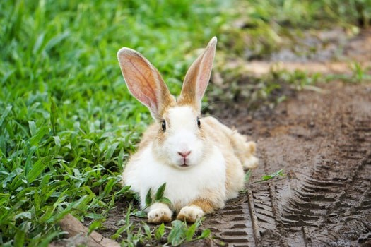 what causes wet tail in rabbits?