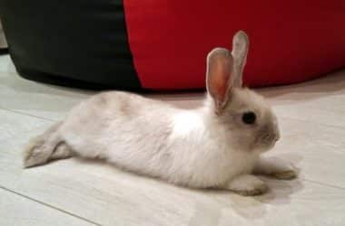 what is splay leg in rabbits?