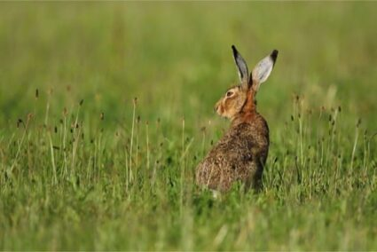 what's the difference between a rabbit and a hare?
